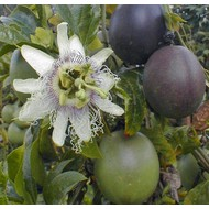 Eetbare tuin-edible garden Passiflora edulis - Passion fruit