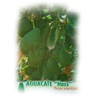 Eetbare tuin-edible garden Persea americana - Avocado plant