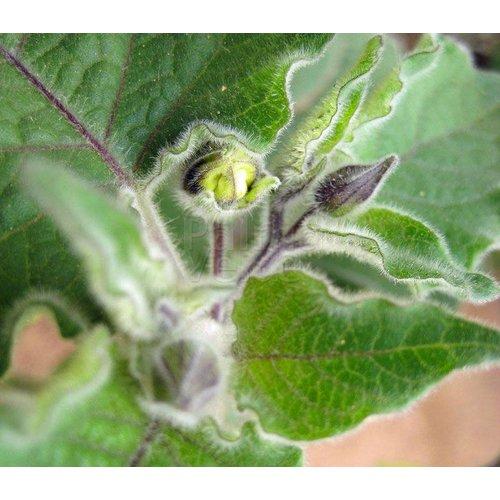 Eetbare tuin-edible garden Physalis peruviana - Goudbes - Ananaskers - Kaapse kruisbes