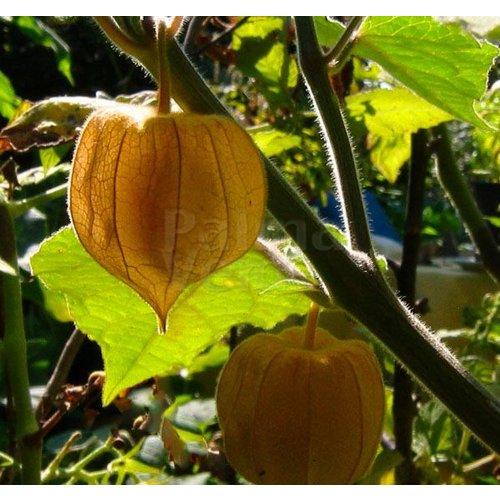 Eetbare tuin-edible garden Physalis peruviana - Goldberry