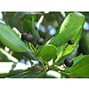 Eetbare tuin-edible garden Pimenta dioica - Allspice - Jamaica peper - Nagelpeper - Pimentbes