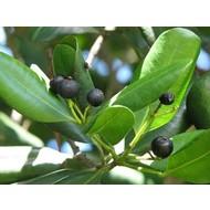 Eetbare tuin-edible garden Pimenta dioica - Allspice - Jamaica pepper