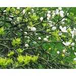 Bomen-trees Poncirus trifoliata - Citrus trifoliata - Wild lemon