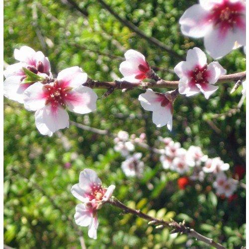 Eetbare tuin-edible garden Prunus dulcis - Almond tree