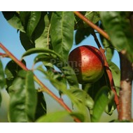Eetbare tuin-edible garden Prunus persica var. nucipersica Weimberger - Nectarine