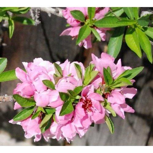 Eetbare tuin-edible garden Prunus persica var. nucipersica Weimberger - Nectarineboom