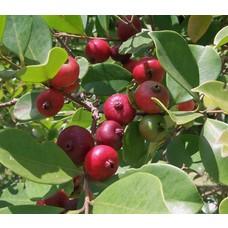 Eetbare tuin-edible garden Psidium cattleianum