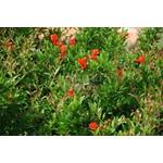 Eetbare tuin-edible garden Punica granatum - Pomegranate