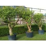 Eetbare tuin-edible garden Punica granatum - Granaatappel
