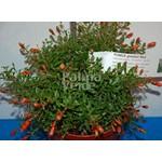 Bloemen-flowers Punica granatum Nana - Pomegranate