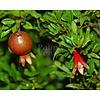 Bloemen-flowers Punica granatum Nana - Granaatappel