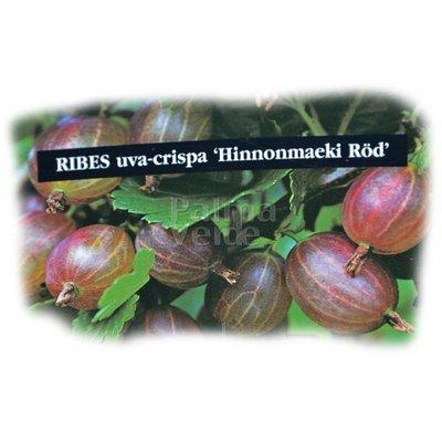 Eetbare tuin-edible garden Ribes uva-crispa Hinnonmacki Röd - Rode kruisbes
