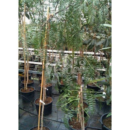 Eetbare tuin-edible garden Schinus molle - Peruviaanse peperboom