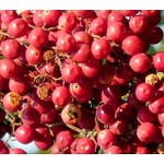 Eetbare tuin-edible garden Schinus molle - Peruvian pepper tree
