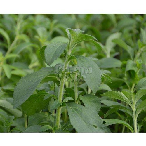 Eetbare tuin-edible garden Stevia rebaudiana Bertoni - Stevia plant
