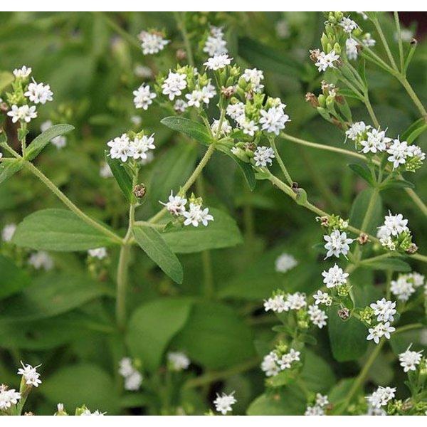 Stevia rebaudiana Bertoni - Stevia plant - Honingkruid - Stepa - Palma Verde Exoten V.O.F.