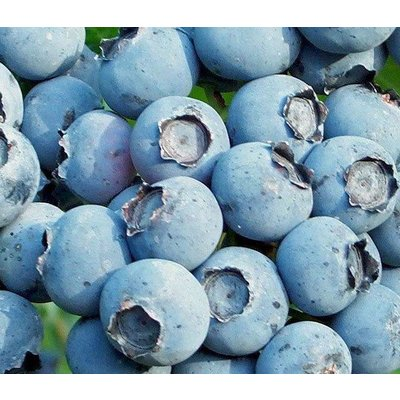 Eetbare tuin-edible garden Vaccinium corymbosum Goldtraube - Blauwe bes