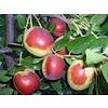 Eetbare tuin-edible garden Ziziphus jujuba - Chinese dadelboom
