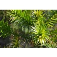Bomen-trees Araucaria araucana - Slangenden - Apenboom