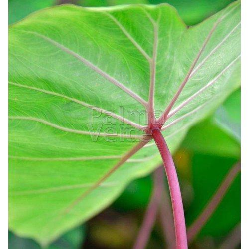 Blad-leaf Colocasia esculenta Pink China - Olifantenoor