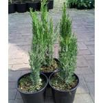 Bomen-trees Cupressus sempervirens Pyramidalis - Italiaanse cipres