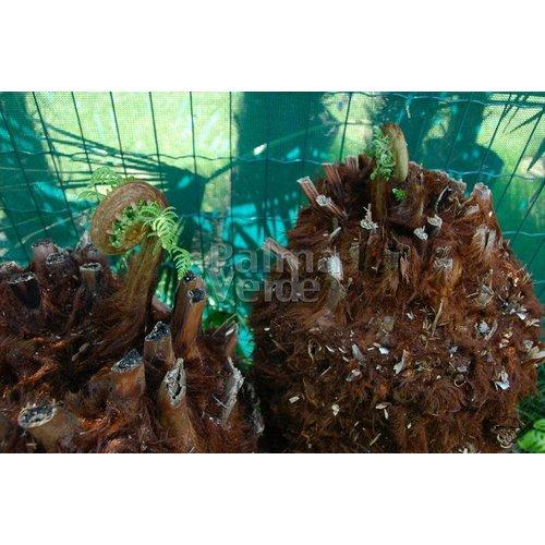 Blad-leaf Dicksonia antarctica - Tasmanian tree fern