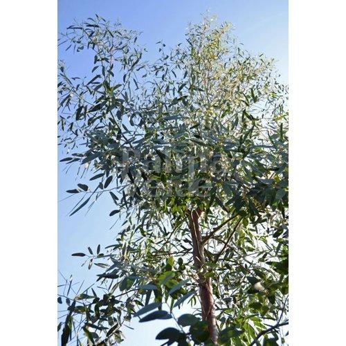 Bomen-trees Eucalyptus gunnii - Eucalyptusboom