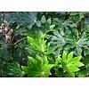 Blad-leaf Fatsia japonica