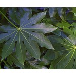 Blad-leaf Fatsia japonica - Japanse vingerplant