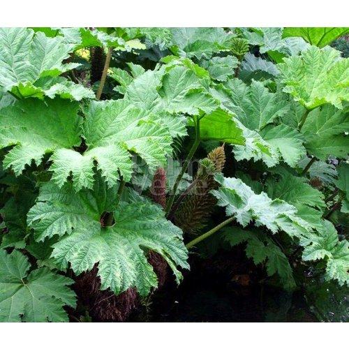 Blad-leaf Gunnera manicata - Mammoetblad