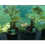 Blad-leaf Gunnera manicata - Mammoth leaf