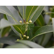 Blad-leaf Laurus nobilis - Kitchen laurel