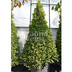 Blad-leaf Laurus nobilis - Kitchen laurel