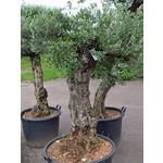 Bomen-trees Olea europaea - Olive tree
