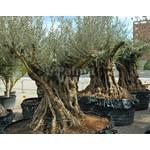 Bomen-trees Olea europaea - Olijfboom