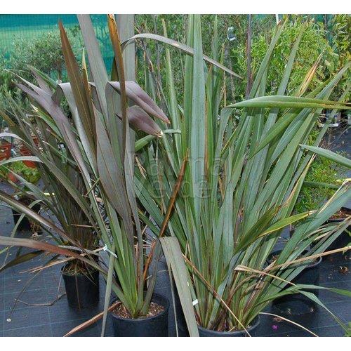 Blad-leaf Phormium tenax - Nieuw Zeelands Vlas