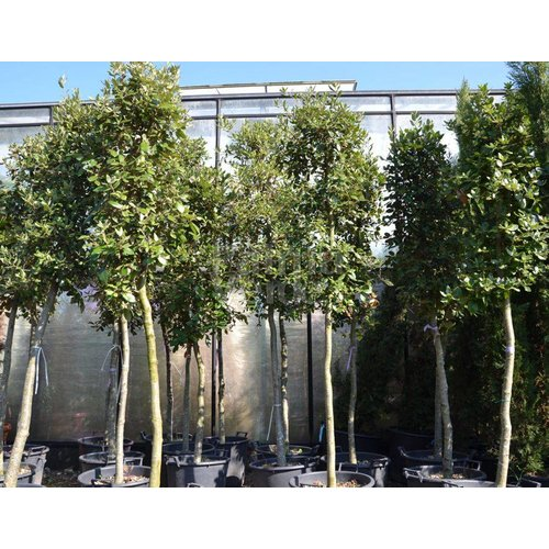 Bomen-trees Quercus ilex - Steeneik