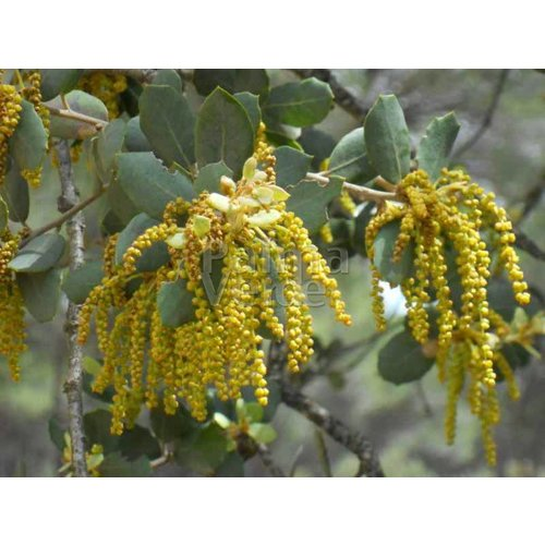 Bomen-trees Quercus ilex