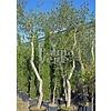 Bomen-trees Quercus suber - Kurkeik