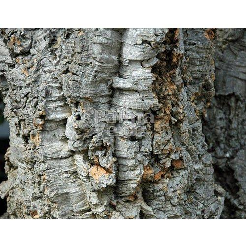 Bomen-trees Quercus suber - Cork oak