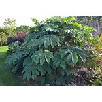 Blad-leaf Tetrapanax papyrifera Steroidal Giant - Rice paper plant - Rice paper tree