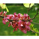 Bloemen-flowers Cercis siliquastrum - Judasboom