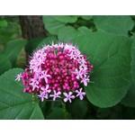 Bloemen-flowers Clerodendrum bungei - Peanut butter plant