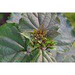 Bloemen-flowers Clerodendrum bungei - Pindakaasplant