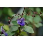 Bloemen-flowers Clerodendrum ugandense - Kansenboom