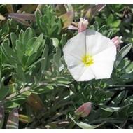Bloemen-flowers Convolvulus cneorum