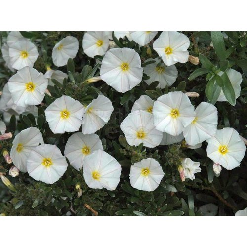 Bloemen-flowers Convolvulus cneorum - Zilverwinde