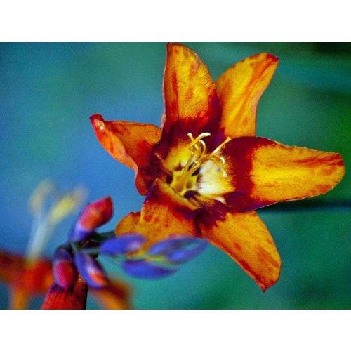Bloemen-flowers Crocosmia Emily McKenzie