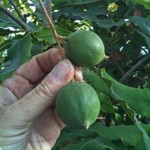 Eetbare tuin-edible garden Macadamia integrifolia - Macadamianotenboom