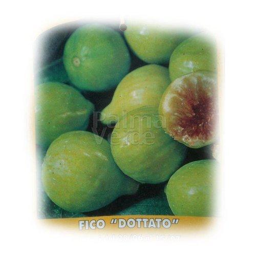 Eetbare tuin-edible garden Ficus carica Dottato - Vijgenboom